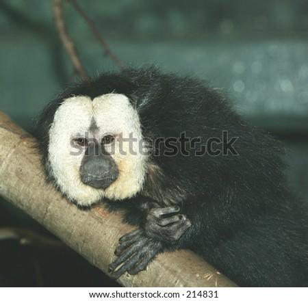 White faced saki monkey male - stock photo