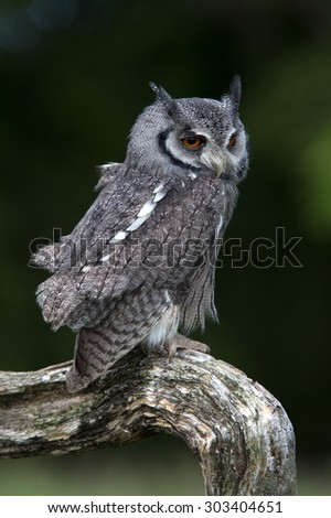 White-Faced Scops Owl perched on branch/White-Faced Scops Owl/ White-Faced Scops Owl (Ptilopsis Leucotis)