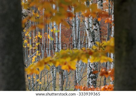 White fall birch trees with autumn leaves in background  - stock photo