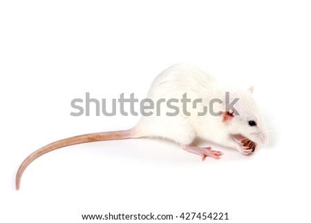 White fancy rat eating piece of bread. Isolated on white background. - stock photo