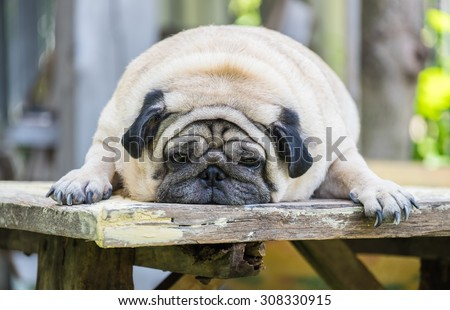White fat pug dog making sadly face laying on the wooden table at home outdoor.