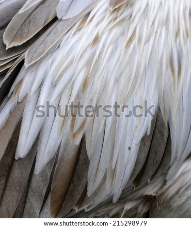 white feather Spot-billed Pelican (Pelecanus philippensis)  - stock photo