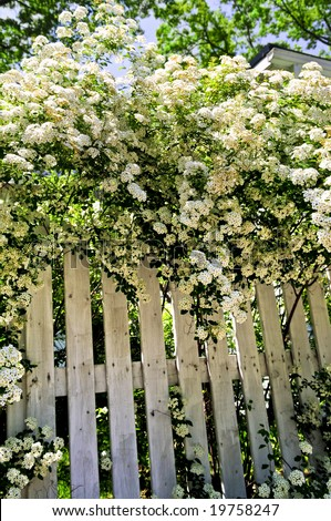 White fence with blooming bridal wreath spirea shrub - stock photo
