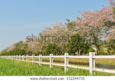 White fence with pink trumpet trees   - stock photo