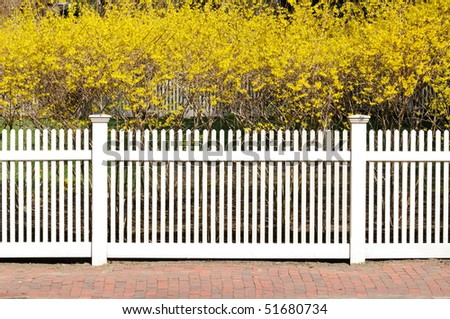 White fence, yellow forsythia, red brick sidewalk. Landscape design for early spring