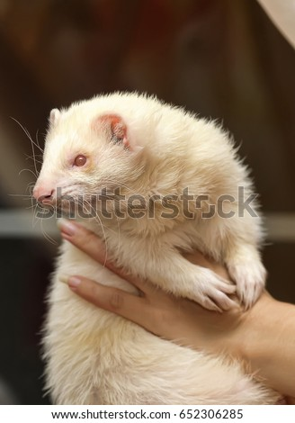 White ferret in the hands