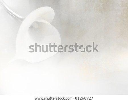 White flower - calla lily on soft textured old paper - floral background - vintage style in white and light grey tone - zantedeschia aethiopica - stock photo