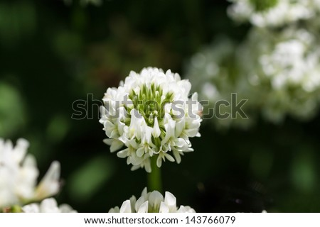 White flower clover. Selective focus. - stock photo