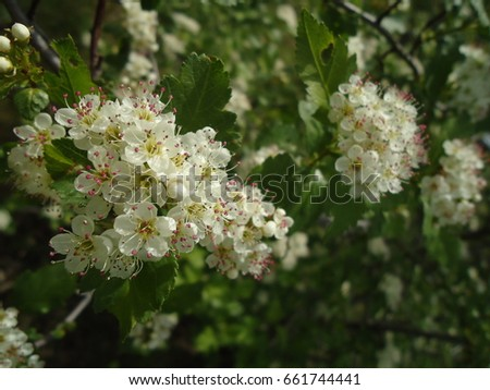 White flower clusters small white blooms stock photo royalty free white flower clusters with small white blooms hawthorn in spring mightylinksfo