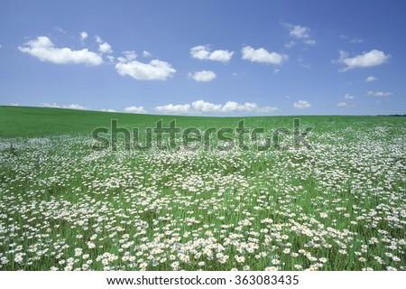 White flower field  - stock photo
