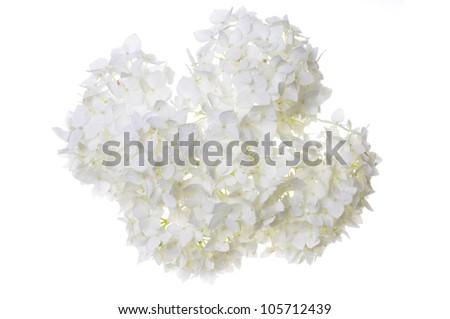 White flower hydrangea isolated on white - stock photo