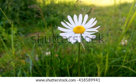 White flower in green grass field. Spring/summer nature photo. Daisy flower in the field. - stock photo