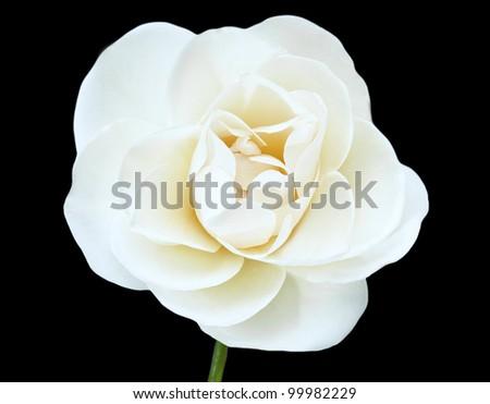 White Flower Isolated on Black Background, White Rose - stock photo