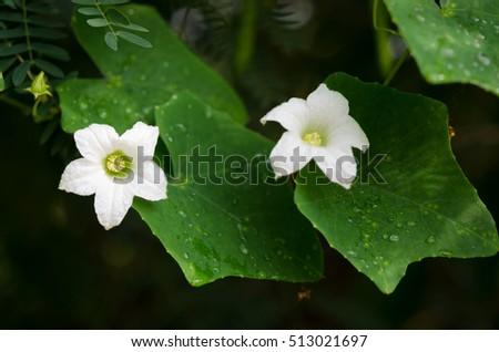 White flower ivy gourdcoccinia grandis healthy stock photo royalty white flower ivy gourdcoccinia grandis healthy vegetables mightylinksfo