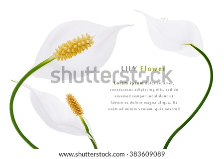 White flower lilies purity decoration frame a white background - stock photo
