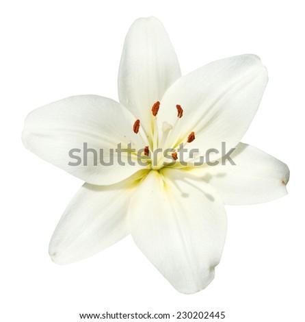 white flower Lilium candidum isolated on white background - stock photo