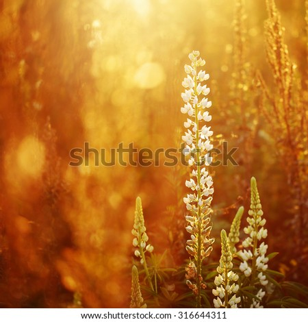 white flower lupine in autumn evening field background. Autumn outdoor fresh sunny photo