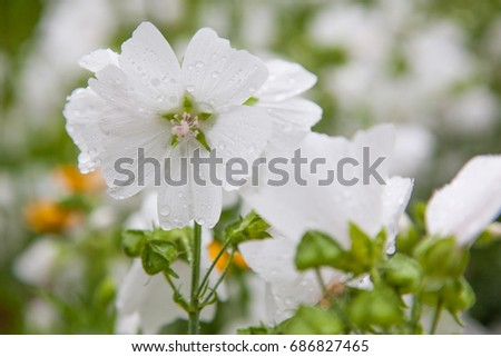 White flower Malva moschata with rain drops