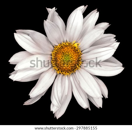 White flower of a decorative sunflower Helinthus isolated on black - stock photo