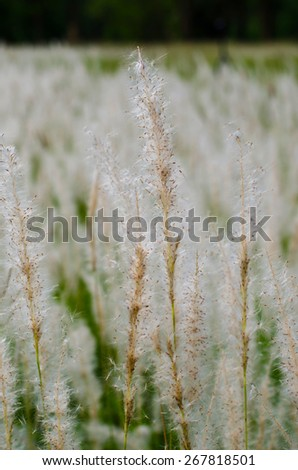 White flower of grass - stock photo
