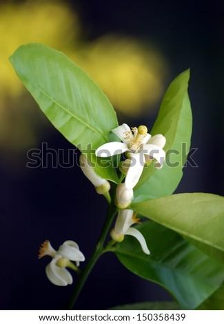 white flower of lemon tree - stock photo