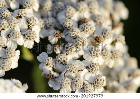 White flower of milfoil close up - stock photo