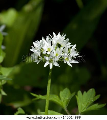 White flower of Wild Garlic or Ramson during springtime - stock photo