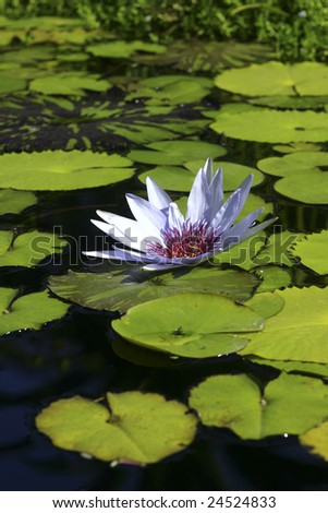 white flower on Lillie pads - stock photo