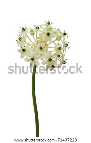white flower on white - stock photo