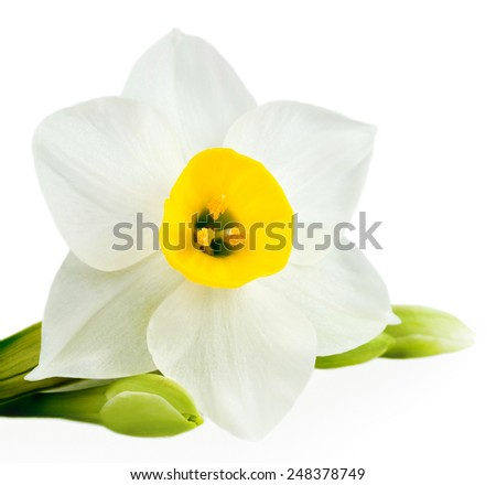 White Flower on White Background Isolated, Daffodil - stock photo