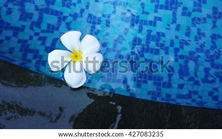 White flower Plumeria floating on blue water swimming pool - stock photo