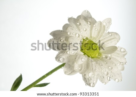 White flower with water drops - stock photo