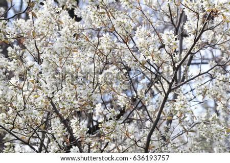 White flowered tree stock photo royalty free 636193757 shutterstock white flowered tree mightylinksfo Images