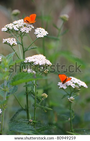 White flowering - Achillea millefolium or yarrow with red butterfly - stock photo