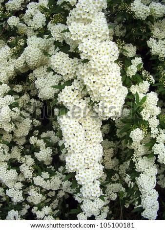 White flowering shrub spirea aguta brides stock photo edit now white flowering shrub spirea aguta brides wreath mightylinksfo