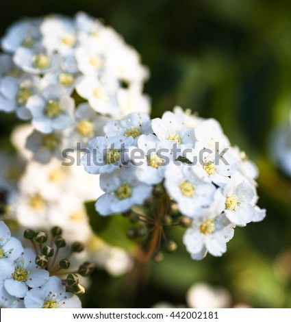 White flowers and buds on the blooming Spiraea shrub - stock photo