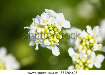 White flowers and buds. Spring blossom. Close-up.