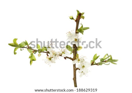 White flowers and fresh green leaves of blackthorn isolated against white