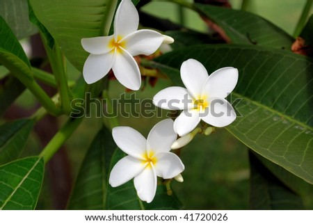 White flowers and green leaves in tropical garden - stock photo