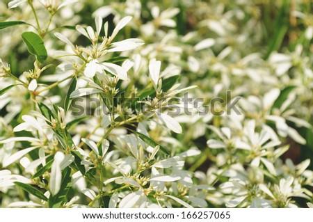 White flowers background - Euphorbia leucocephala Lotsy  - stock photo