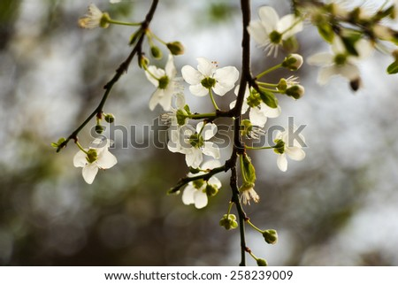 White flowers blossoming on a tree on an aged photo. Blossoming of cherry flowers in spring time with green leaves, natural floral seasonal background. - stock photo