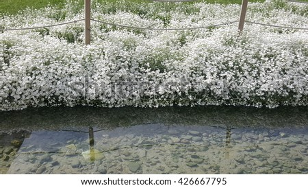 White Flowers by the Lake