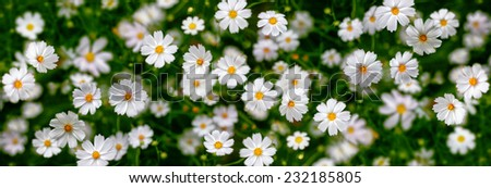 White flowers (Cosmos). Abstract background. Panorama. - stock photo