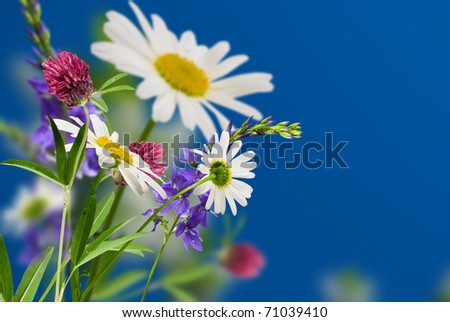 white flowers daisywheels and wild clover with sun on blue background - stock photo
