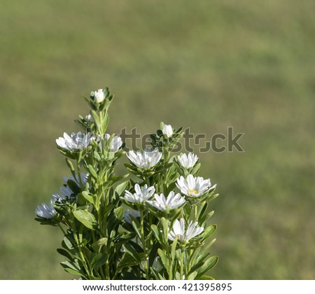 White flowers in a garden in closeup, macro. Lawn in the background, bright sunshine.  - stock photo