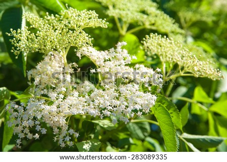 White flowers in green foliage.  - stock photo