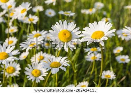White flowers (Leucanthemum vulgare Lam., ox-eye daisy, oxeye daisy) in the meadow - stock photo