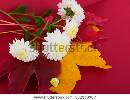 White flowers of beautiful autumn chrysanthemums - stock photo