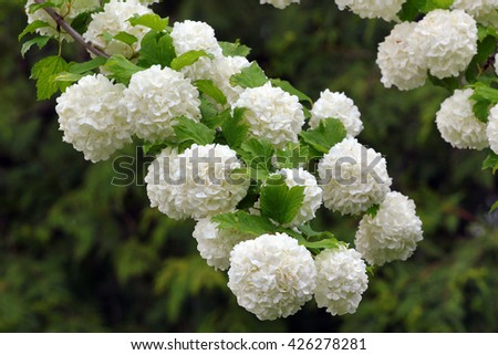 White flowers of blooming snowball tree - stock photo