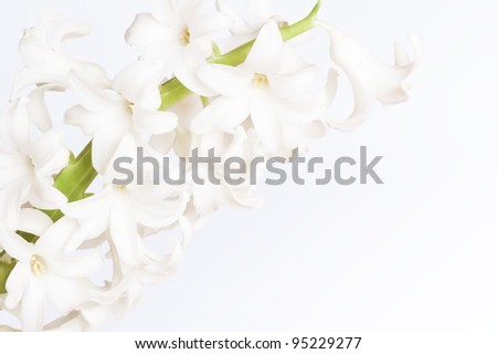 white  flowers of Hyacinthus